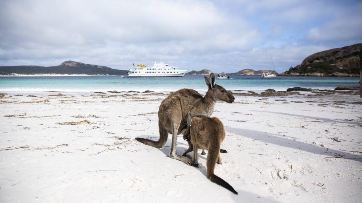 Eastern Grey Kangaroo   Australian museum
