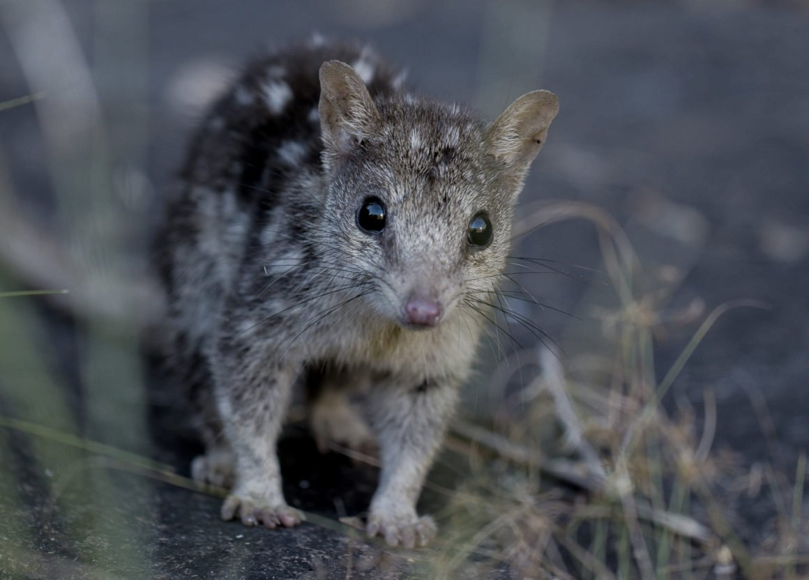 spotted-australian-quoll