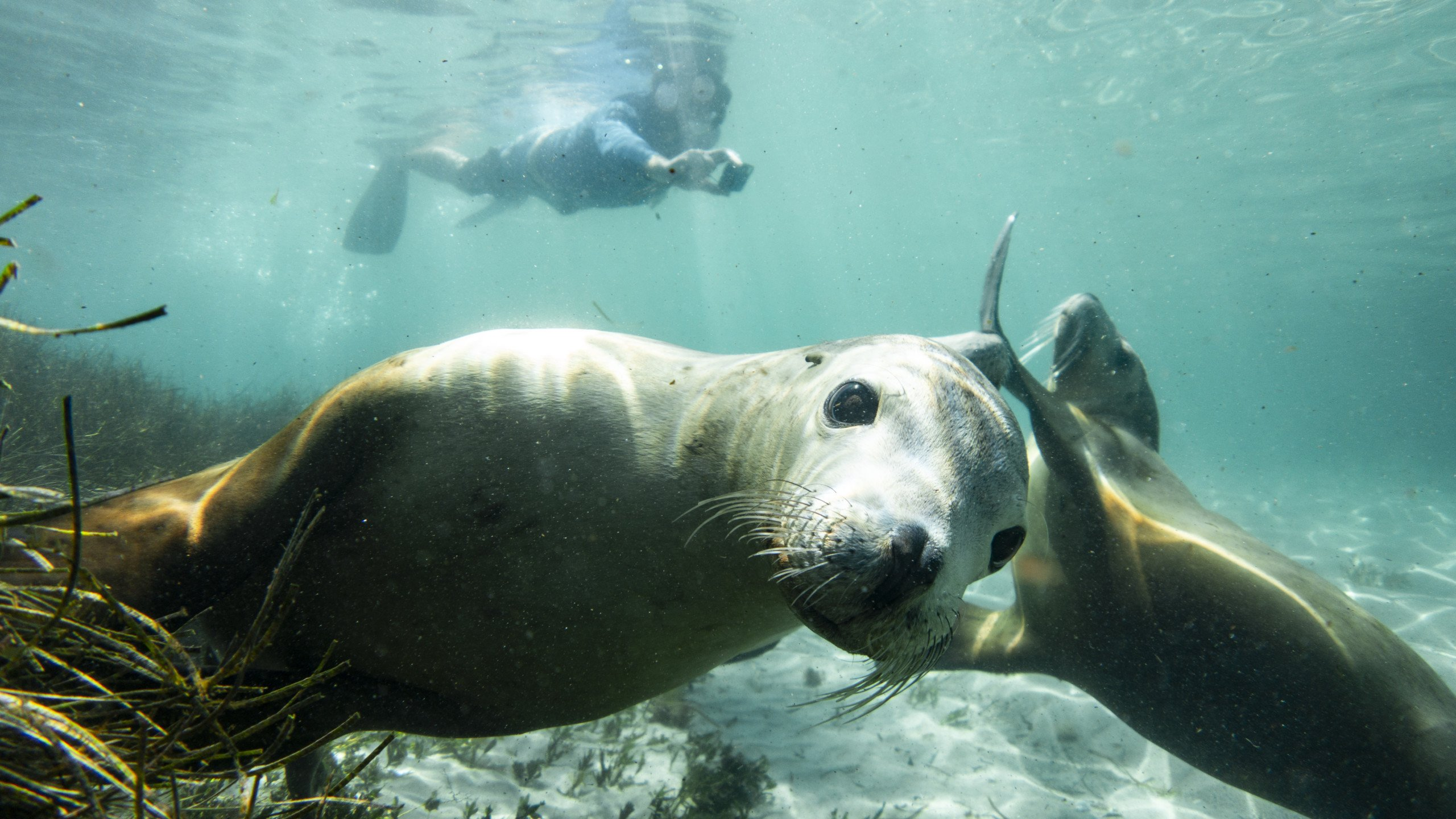 Swimming with SEA - Lions