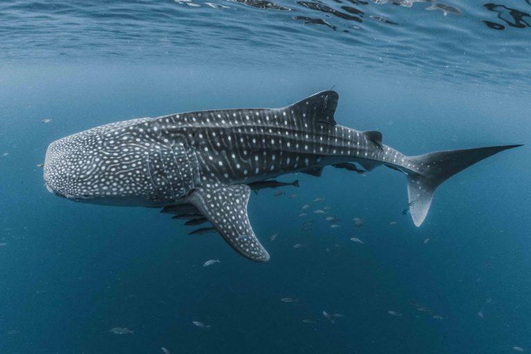 The Whale Sharks of Cenderawasih Bay